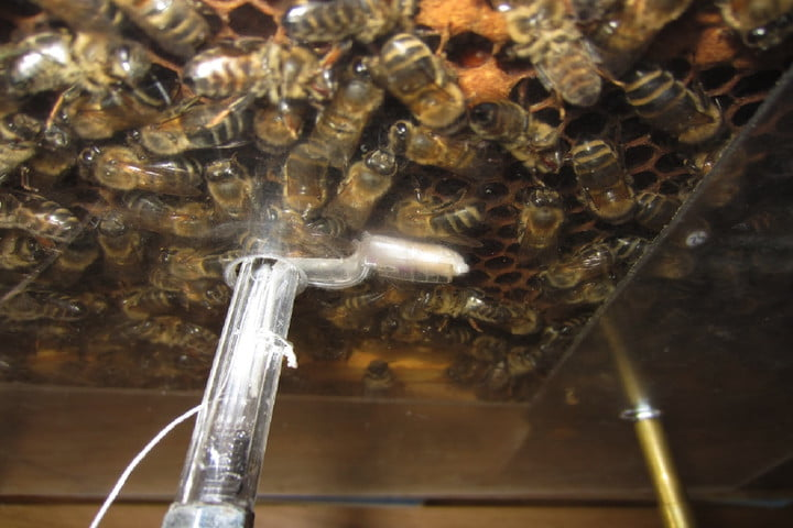 A German robot dances to communicate with honeybees