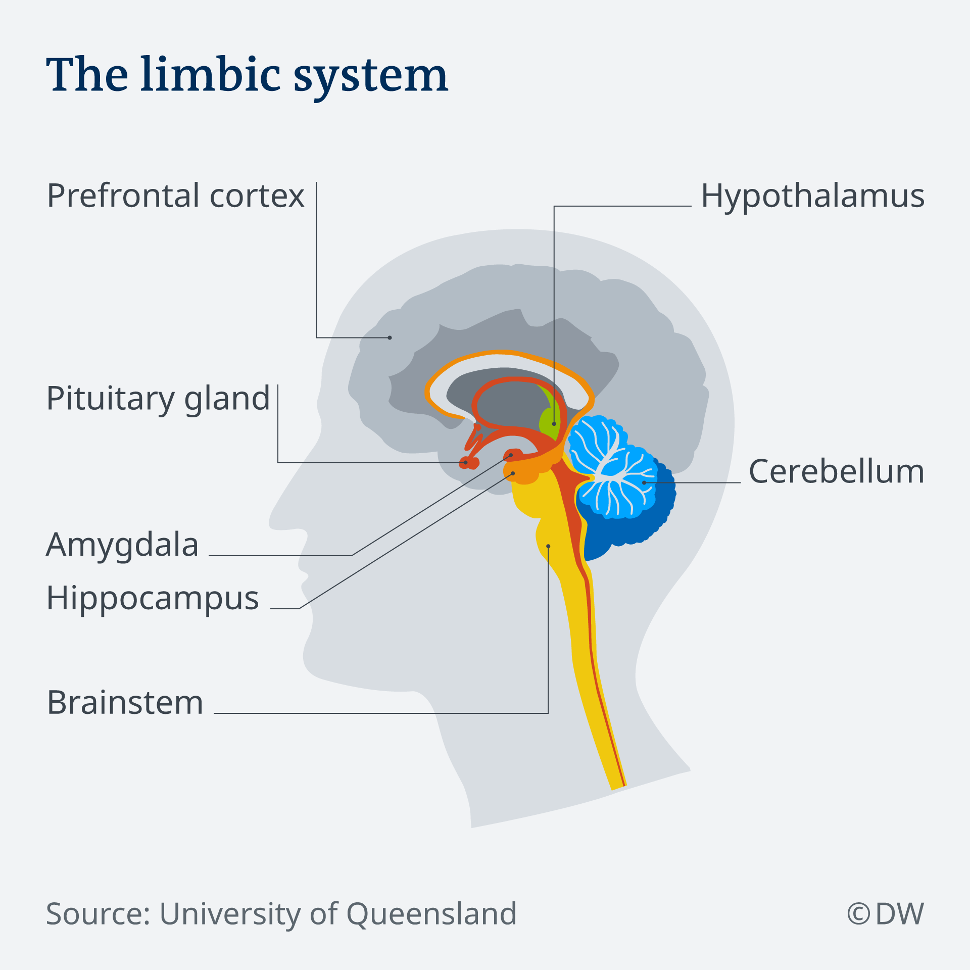 Infografik Durchschnitt Gehirn EN