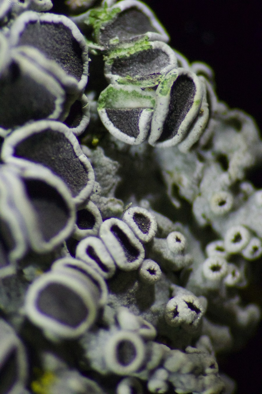 Lichen - ANDREW SCARPELLI