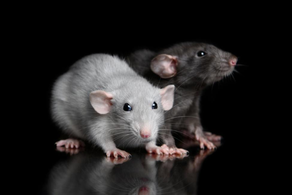 Sound influences the way mice and rats sense touch | UPI