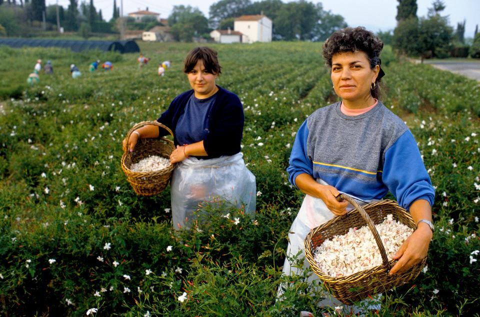 France - Grasse - Perfume - Perfume Industry - Jasmine - Picker