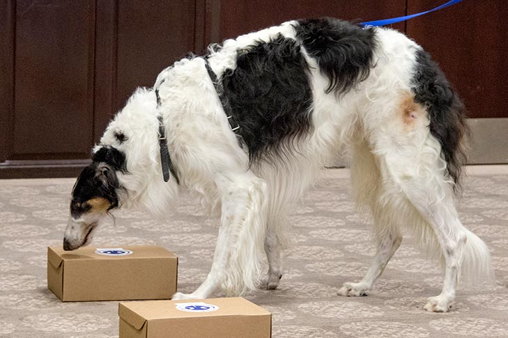 Borzoi in a scent work trial.