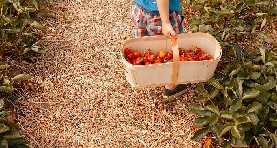 Strawberry & sulfur memories | NWA Online