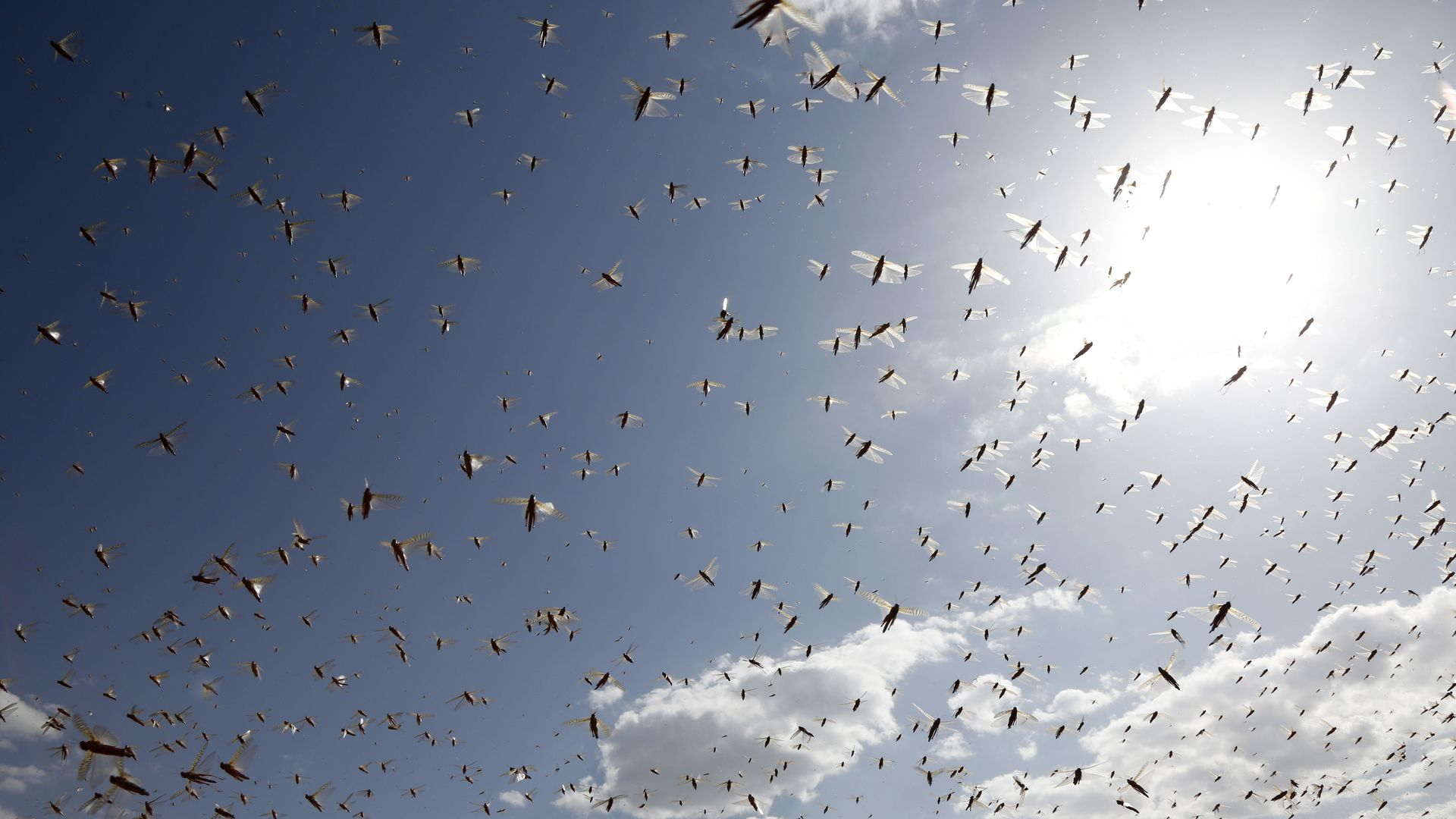 Researchers find scent behind some devastating locust swarms | Axios