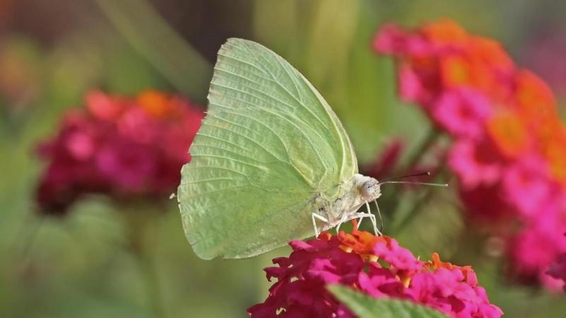 Amidst the alluring colour and scents, here's how butterflies pick their flower | Research Matters