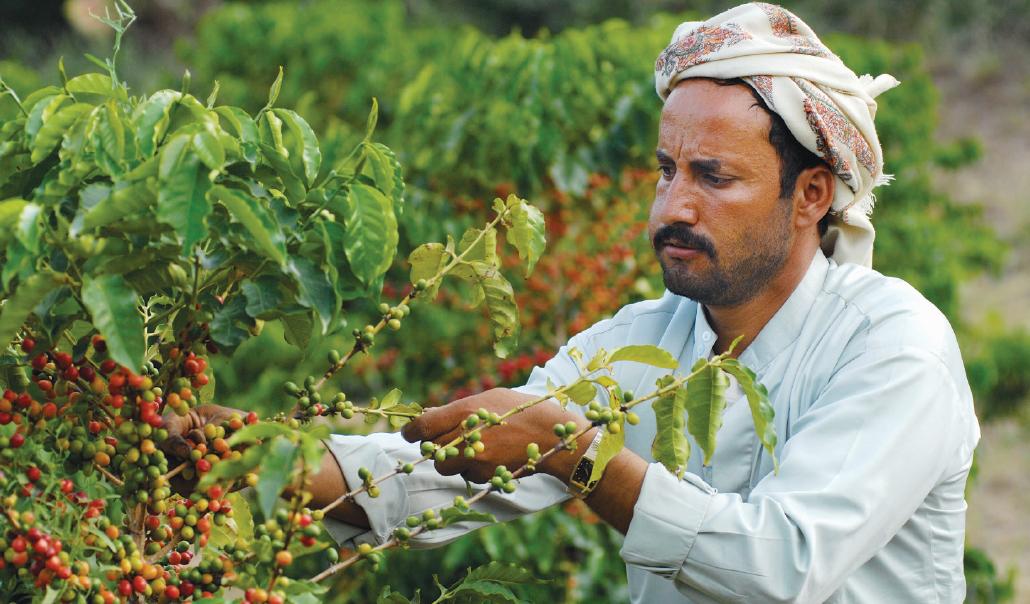 Yemeni coffee farmer