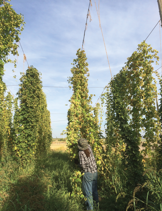Hop plants in Yakima Valley, Washington