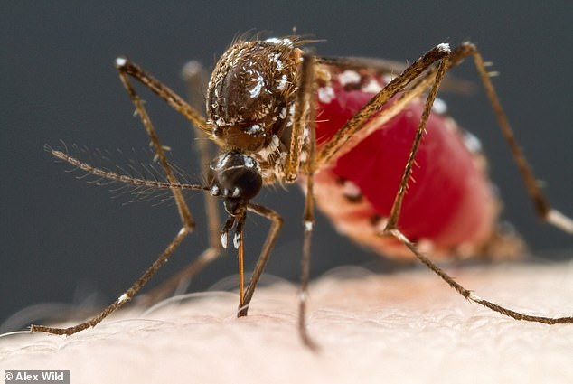 Human blood tastes 'salty and sweet' like caramel to mosquitoes | Daily Mail