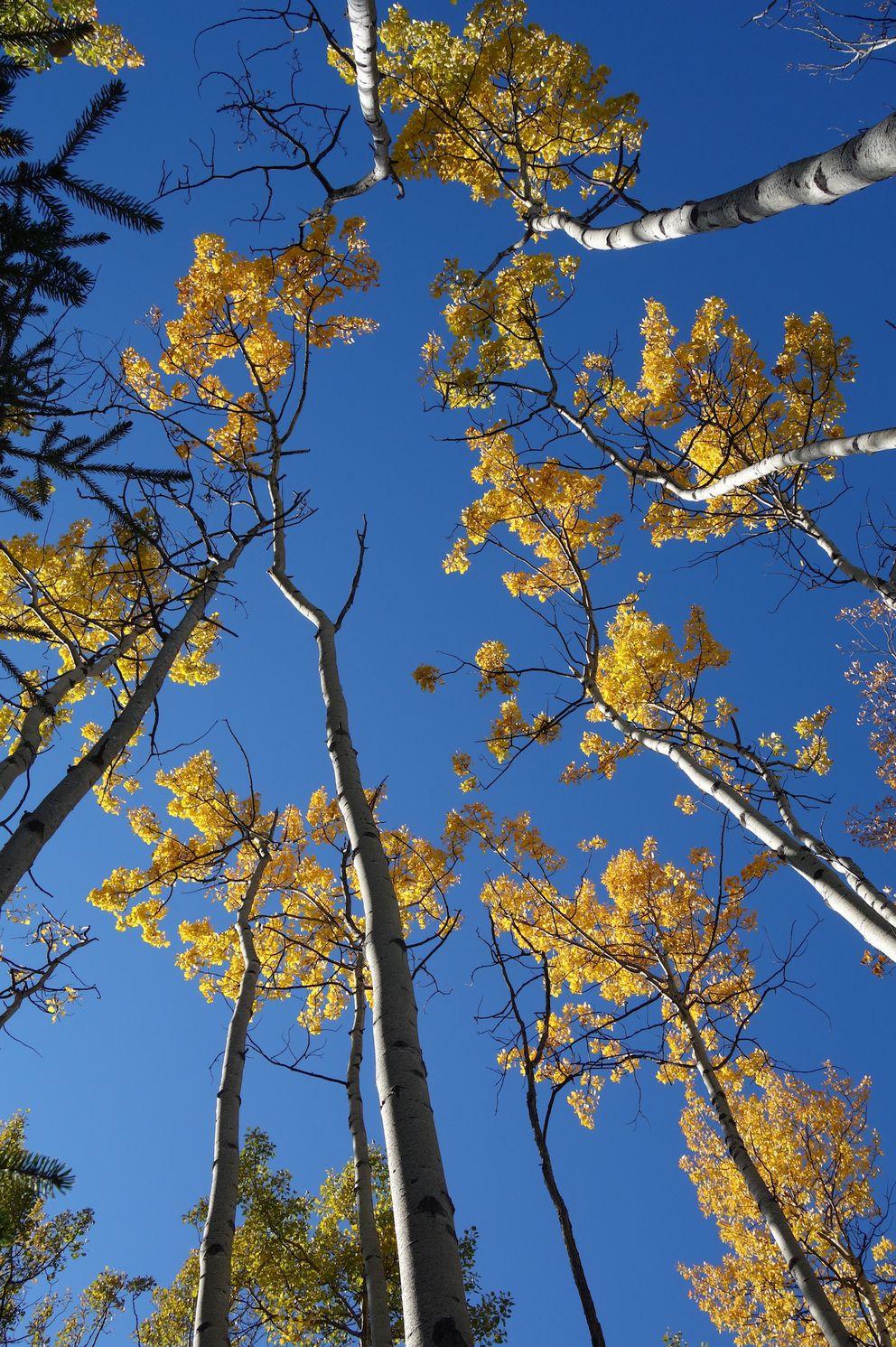 Aspen trees near Glennallen, Alaska. (Photo by Ned Rozell)