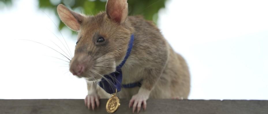 Adorable landmine-detecting rat awarded tiny medal for bravery | BBC Science Focus Magazine