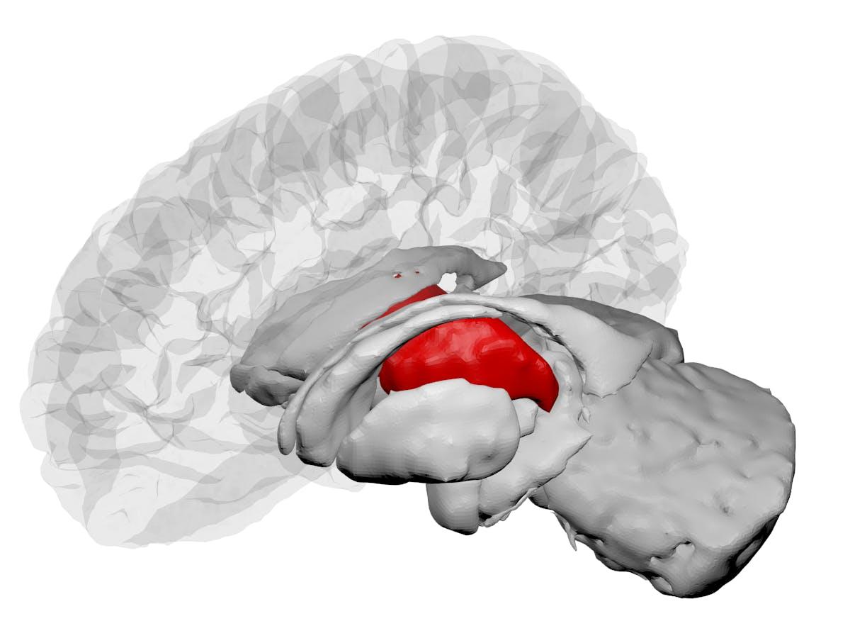 The human thalamus highlighted in a brain diagram