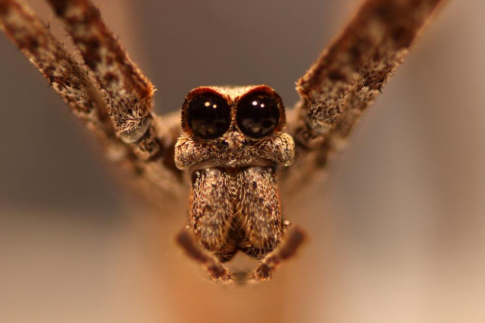 Ogre-faced spiders have great hearing—without ears | National Geographic