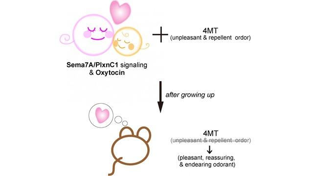 """""""Imprinting"""" Certain Smells During Infancy Change Adult Behavior"""