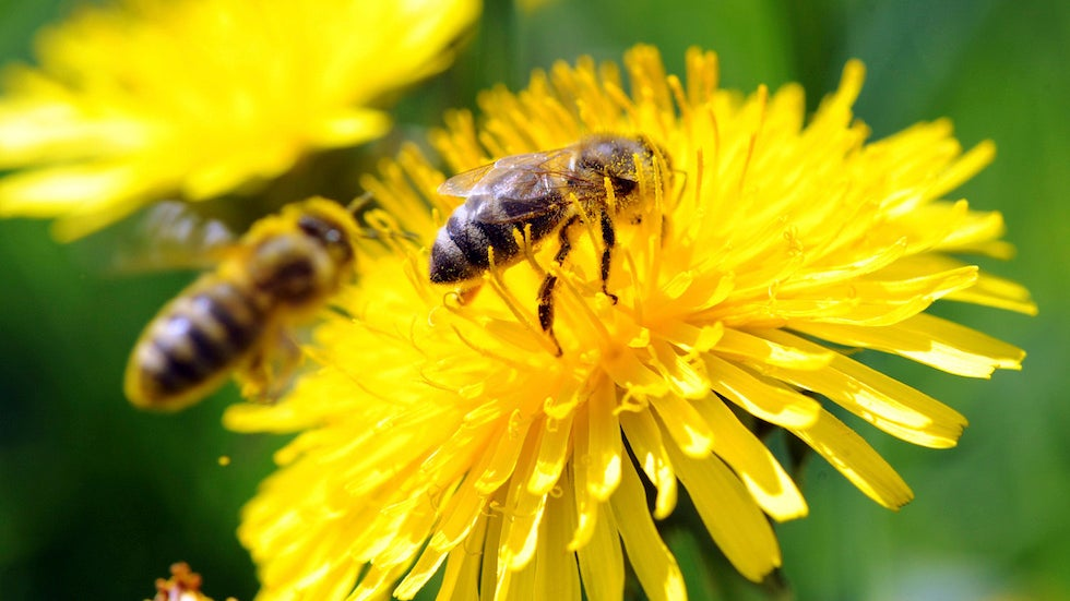 Scientists train bees to identify coronavirus infection