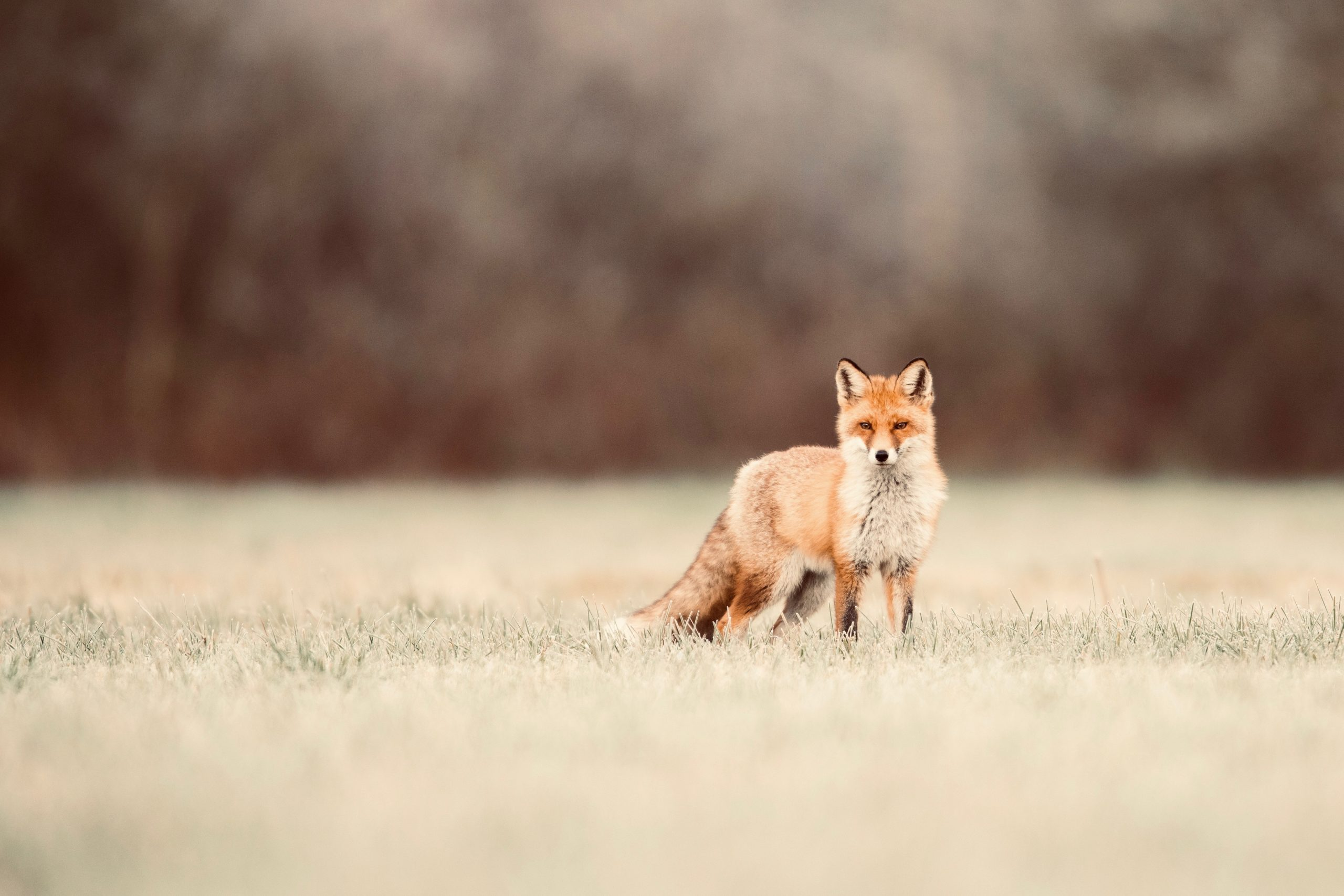 Fox scents are so potent they can force a building evacuation. Understanding them may save our wildlife   The conversation