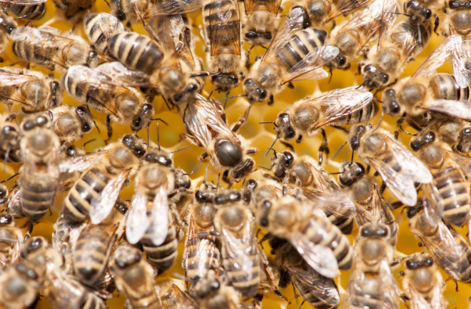 Honeybees Use Scent Maps to Keep Track of Their Queen | Discover Magazine