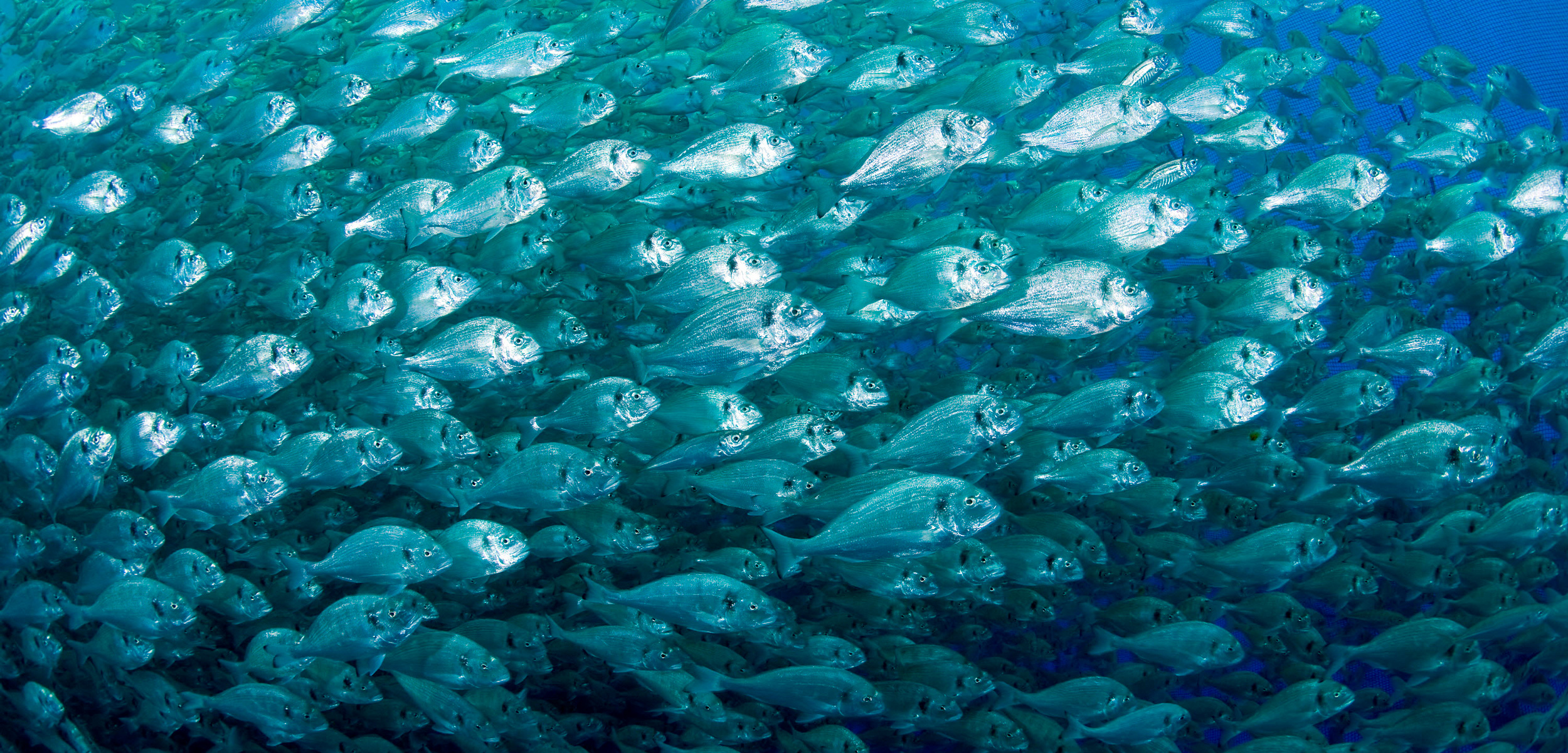 The Scent of Danger Makes These Fish Hulk Out | Hakai Magazine
